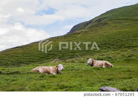 푸른 초원 위에서 쉬고 있는 소 두마리 67051205