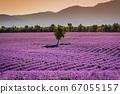 Valensole lavender in Provence, France 67055157