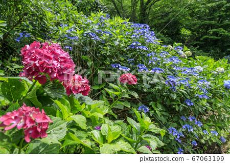 부민의 숲 만개의 수국 정원 67063199