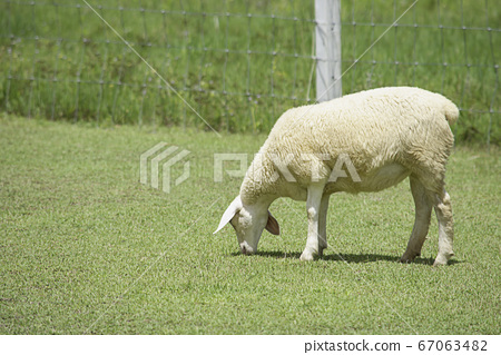 The  white sheep eat grass in the farm. 67063482