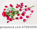 wilted red rose flower and many fallen petals 67064099