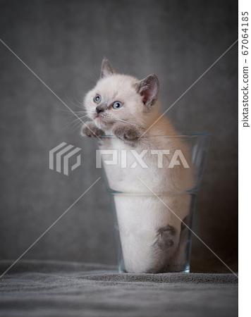 british shorthair kitten in vase 67064185