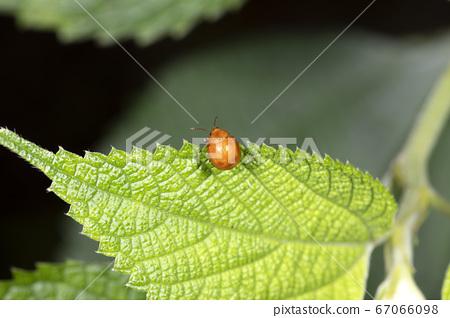 오오 빨간 벼룩 잎벌레 67066098