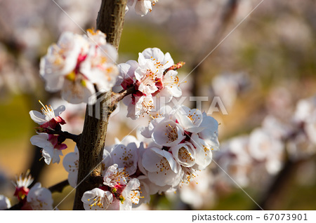Blooming apricot trees in early spring 67073901