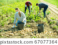 Woman in protective medical masks helps men harvests potatoes on field 67077364