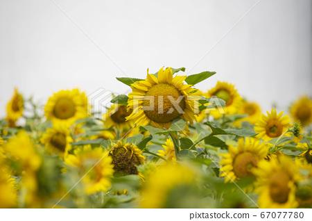 정원 노란 해바라기  67077780