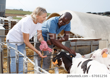 Two workers feeding calves 67081256
