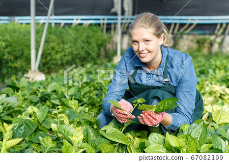 Positive female horticulturist in apron working with creeping spinach 67082199
