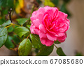 Blossoming rose in a garden. 67085680