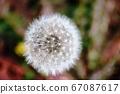 Dandelion winter fluff 67087617