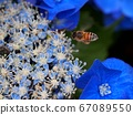 绣球花和蜜蜂 67089550