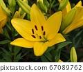黄色百合花 67089762