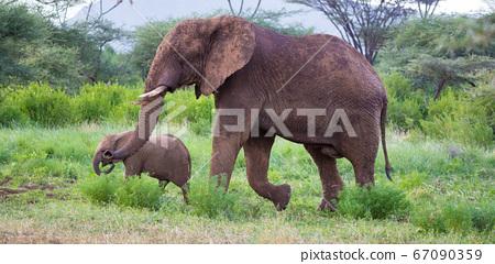 Elephants walk among the trees and shrubs 67090359