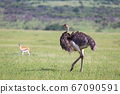 Ostrich birds are grazing on the meadow in the 67090591