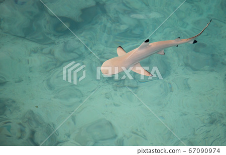 Shark is swimming in the water 67090974