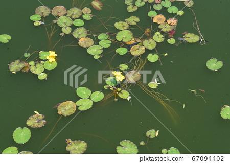 노랑어리연꽃 67094402
