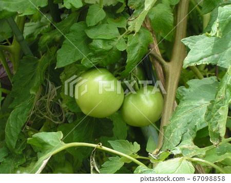 씨에서 키운 커졌다 토마토의 열매 67098858