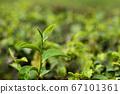 Close up shot of young Green tea leaf 67101361