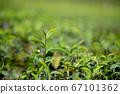 Close up shot of young Green tea leaf 67101362