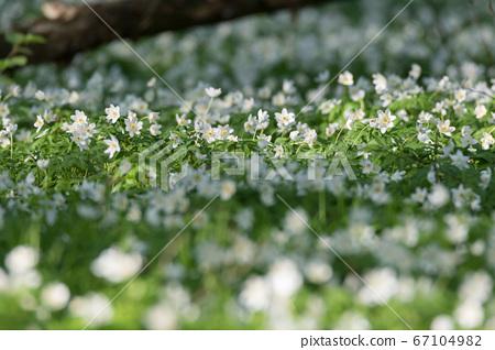 Flowering Wood Anemone (Anemone nemorosa) in 67104982