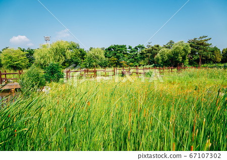 Green reed field with fence at Wolmi Park Traditional Garden in Incheon, Korea 67107302