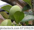 卡琳水果在秋天會變黃變黃,不能生吃 67109226
