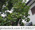 卡琳水果在秋天會變黃變黃,不能生吃 67109227