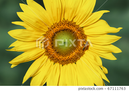 Sunflower head in morning light. Yellow flower 67111763