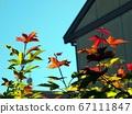 枫沐浴在春天的天空和阳光下 67111847