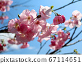 仰望天空的樱花 67114651