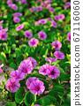厚藤,馬鞍藤,馬蹄草,紅花馬鞍藤,沙藤,熱帶,牽牛花,匍匐蔓生草本植物 67116060