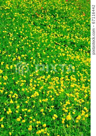 蔓花生,花卉,黃色花,披草植物,開花 67116442