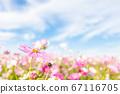 가을의 이미지 코스모스 코스모스 코스모스 코스모스 67116705