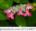 红色Hakui绣球花 67116857