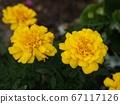 黄色万寿菊 67117126