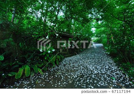 油桐花,五月雪,路徑,落花,飄落的油桐花 67117194