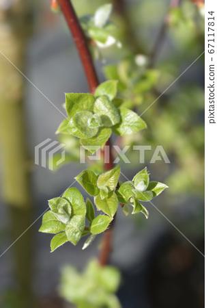 Kilmarnock willow 67117814