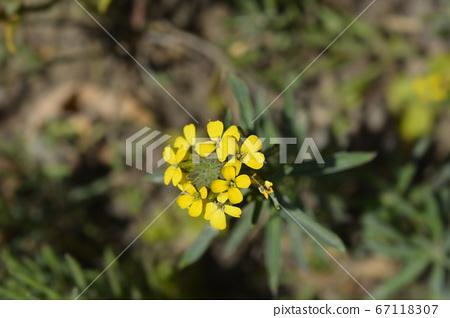 Alpine Wallflower Golden Gem 67118307
