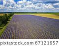 lavender 67121957