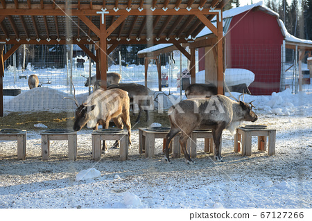 Reindeer in farm 67127266