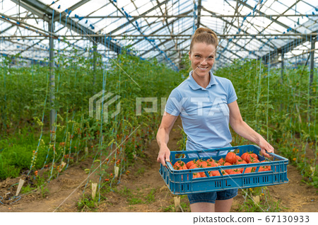 harvested organic tomatoes in a greenhouse, stored in crates. woman carrying boxes with tomatoes. 67130933