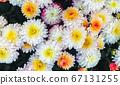 Many chrysanthemum flowers 67131255