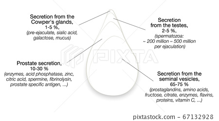 Semen components. Drop of sperm with percentage of secretions from testes, prostate, seminal vesicles and cowpers glands. Isolated vector illustration on white background. 67132928