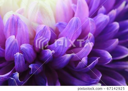 綻放的菊花(花瓣) 67142925