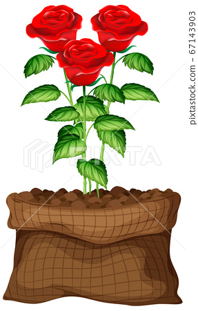 Red roses growing in brown bag on white background 67143903
