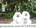 A cute white Pomeranian with a nice smile 67144508