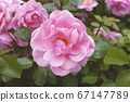 Blooming garden roses, pink flower close up. 67147789