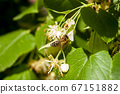 Bee picking honey from lime linden flowers, close 67151882