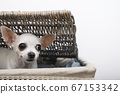 A Chihuahua dog is sitting in a laundry basket peering out from under the cover with interest. Isolate 67153342
