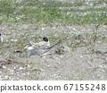 核心燕鸥在Kemigawahama的巢中 67155248